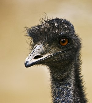 A photo of an Emu who looks like he is having ...