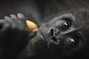 Gorila en el zoo de Madrid, España.
