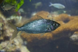 Mojarra - Eucinostomus sp.