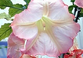 bunga Brugmansia x insignis dari Taman Nasional Amerika Serikat