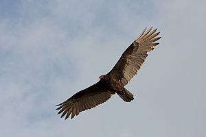 Turkey Vulture flying in Miami, Florida, USA.