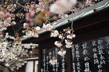 Cherry blossom in Osaka (Unsplash)