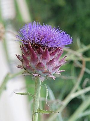 Flower of Artichoke (Cynara scolymus). Jardin ...