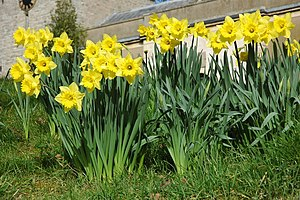 English: Daffodils at Longdon Daffodils in the...