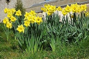 Daffodils at Longdon Daffodils in the churchya...