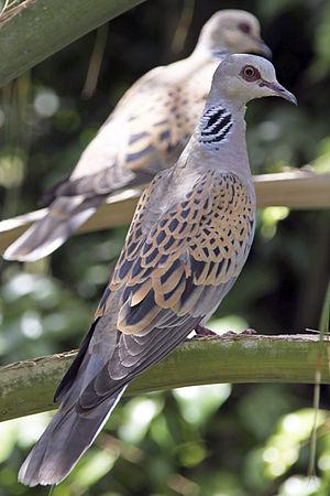English: European Turtle Dove (Streptopelia tu...