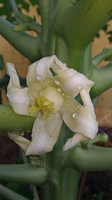 scientific name of papaya leaf   Jidileaf co