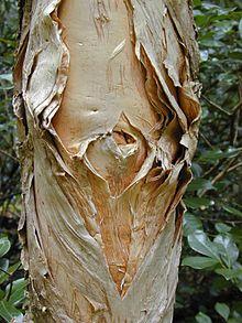 Cajeput Tree Wikipedia