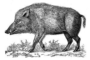 Fig. 16 - Wild boar.