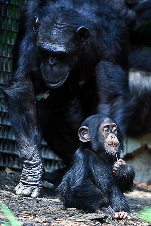 See description on File:Chimpanzee mom and bab...