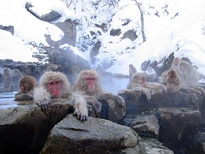 English: Japanese Macaques (Macaca fuscata). J...
