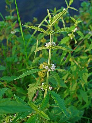 English: Lycopus europaeus, Lamiaceae, Gipsywo...