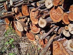 Corte de madeira em área florestal para o plantio de cana-de-açúcar.