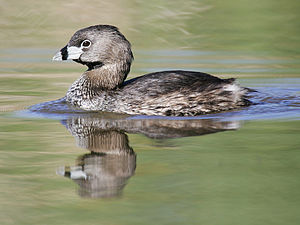 Pied-billed Grebe (Podilymbus podiceps), Lake ...