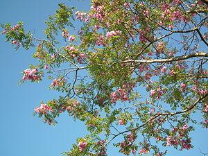 Robinia pseudoacacia à Médis