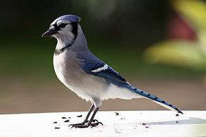 English: Blue Jay (Cyanocitta cristata) – Onta...