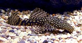 Bristlenose Catfish 700.jpg