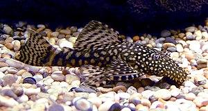 List of freshwater aquarium fish species