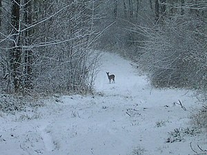 English: Buck is left of doe The Gamekeeper he...