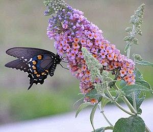 Butterfly feeding from butterfly bush
