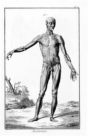 Figure anatomy of the Encyclopedia great Frenc...