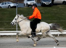 IJslander Paard Wikipedia