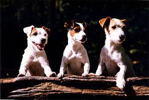 three Jack Russells