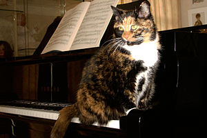 English: Tortoiseshell cat with white on piano...