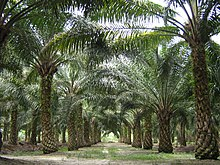 A dirt track with rows of palm trees on either side