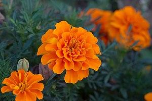 Marigold flowers (tagetes patula), taken in pa...