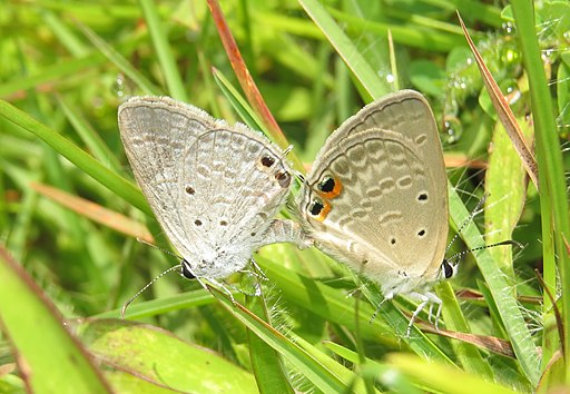 Euchrysops cnejus Fabricius, 1798 – Gram Blue mating at Madayippara (2)