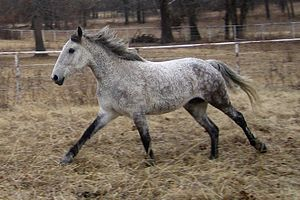 Full body shot of a Curly horse galloping thro...