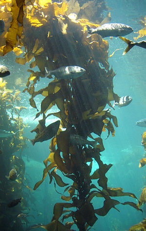 The kelp forest exhibit at the Monterey Bay Aq...