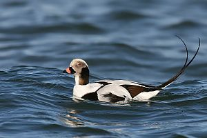 Long-Tailed Duck / Clangula hyemalis