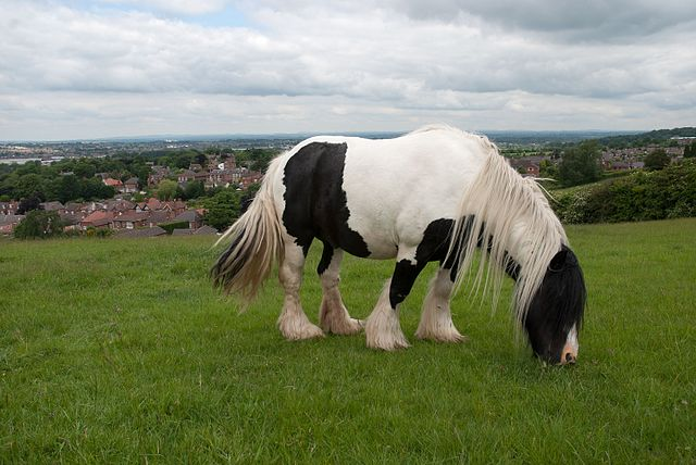 Piebald Cob stallion grazing in the English Midlands. Via Wikimedia.