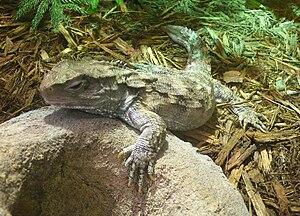 Tuatara Sphenodon punctatus