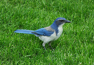 Western Scrub Jay photographed in Aloha, Oregon - May 2000 (Photo credit: Wikipedia)