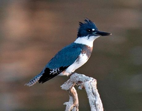 File:Belted Kingfisher.jpg