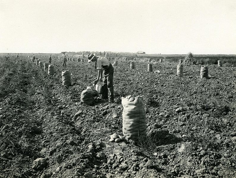 Man harvesting potatoes with long row of sacks running down the field
