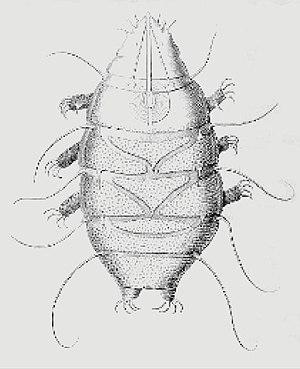 Latina: Echiniscus sp.