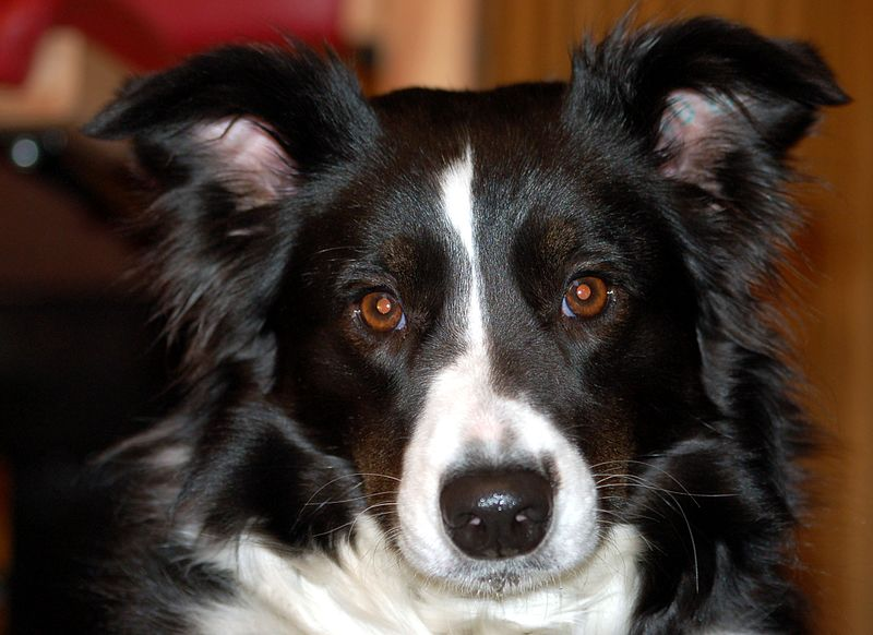G And H Border Collies Dog Breeds: The Good, ...