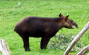 A mountain tapir Tapirus pinchaque at the San ...