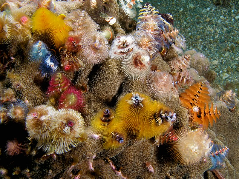 File:Spirobranchus giganteus (assorted Christmas tree worms).jpg