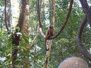 Amazonian Rainforest, Monkey Island (Peru).