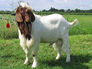 Boerbok Categorie:Afbeelding geit