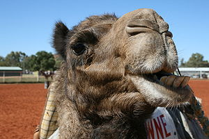Camel face, chewing. During the Alice Springs ...