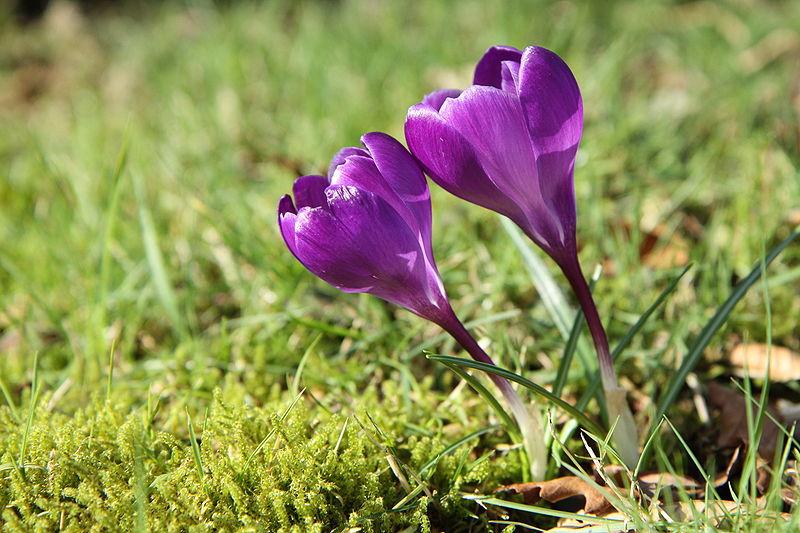 File:Crocus dans le jardin - 049.JPG