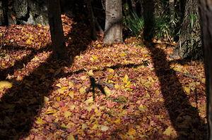 English: dead leaves 日本語: 落ち葉の絨毯