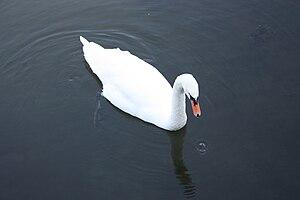 English: Swan at Killough Bridge, near Killoug...