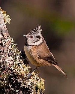 Lophophanes cristatus -Aviemore, Scotland-8 (2).jpg